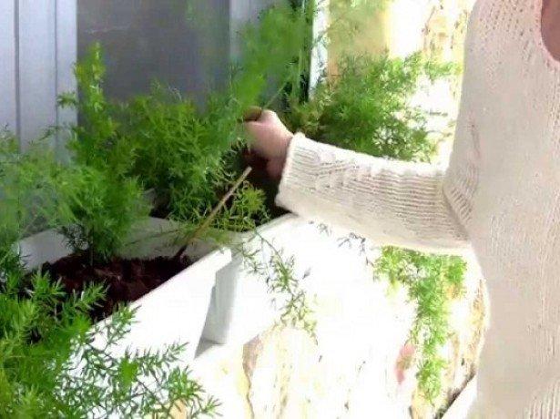 Кріп на підвіконні - як правильно вирощувати кріп будинку, щоб домогтися пишної зелені
