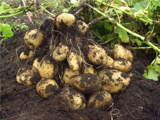 Картопля імпала-опис ранньостиглого сорту високої якості