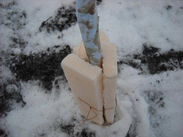Підготовка персика до зими в нашому кліматі