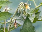 Як позбутися від мурах в теплиці без шкоди для рослин