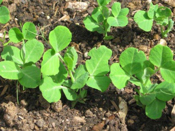 В які терміни і як садити горох – поради початківцям городникам