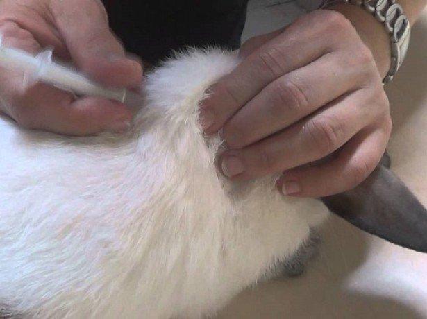 Як зробити щеплення кроликам або основні правила вакцинації домашніх зайців