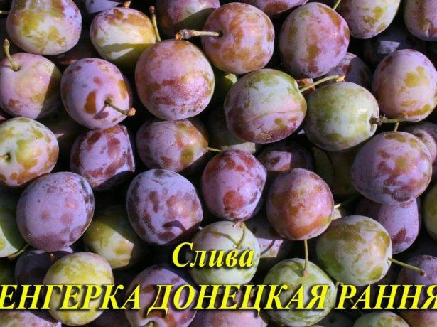 Слива угорка-популярні сорти