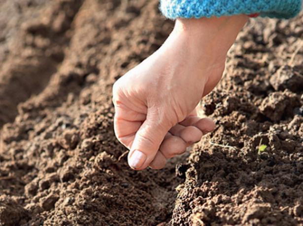 Весняна і осіння посадка моркви - в чому різниця, і що віддати перевагу?