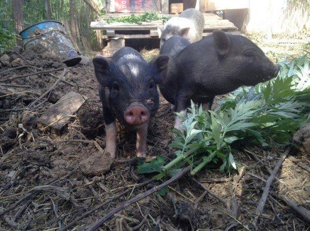 Вєтнамська висловуха свиня-переваги породи і особливості вирощування