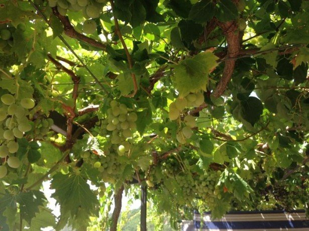 Виноград на балконі-збираємо урожай, не виходячи з квартири