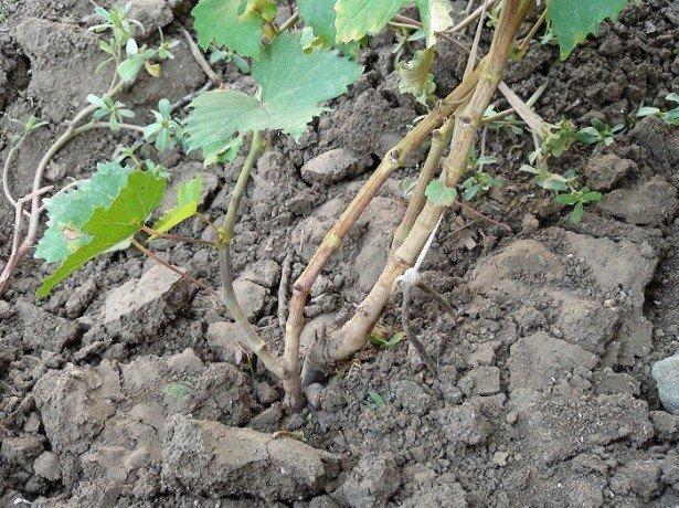 Так вже чи неможливий виноград в сибіру?