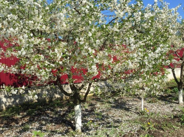 Вишня сорту диво — як виростити ідеальне дерево