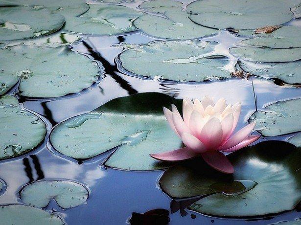 Водяні лілії або латаття у вашому саду