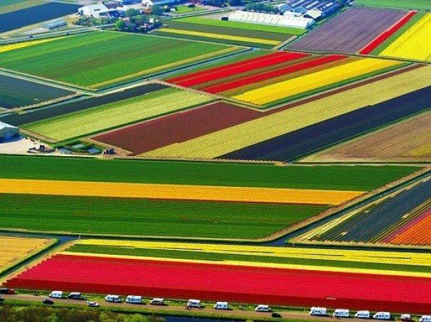 Тепличне вирощування тюльпанів, або як правильно садити тюльпани в умовах теплиці