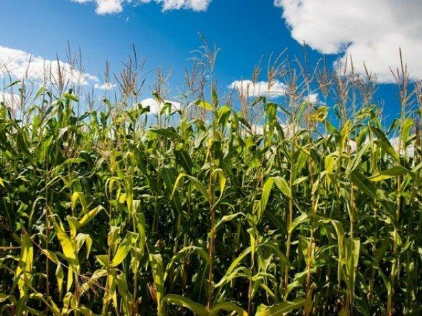 Обробіток кукурудзи на зерно за традиційною технологією і за технологією ноу-тілл