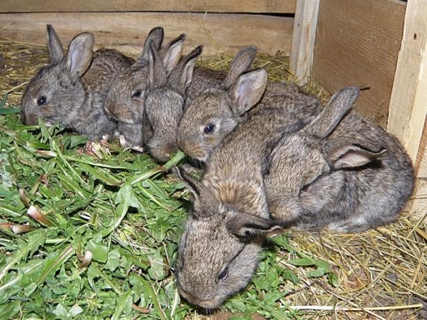 Можливі проблеми зі здоровям у кроликів, як запобігти і чим лікувати?