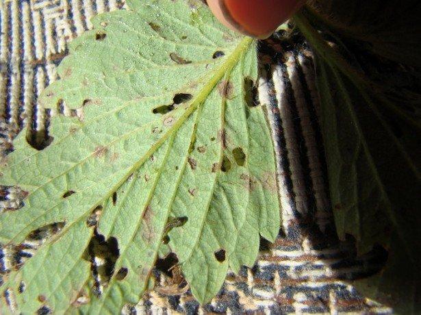 Шкідники і хвороби, які найчастіше зустрічаються на плантаціях садової суниці