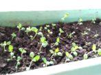Картопля сорту розара: опис і нюанси вирощування