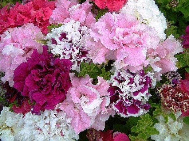 Вибираємо махрові сорти петунії, примхливої красуні квітника