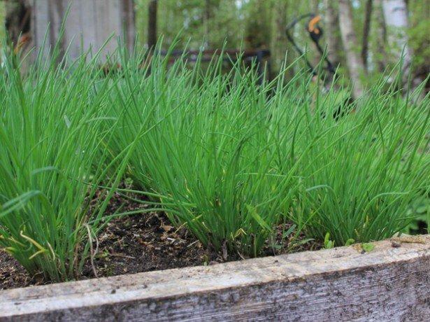 Вигонка цибулі на зелень-які сорти вибрати, і як виростити цибулю у відкритому грунті або теплиці