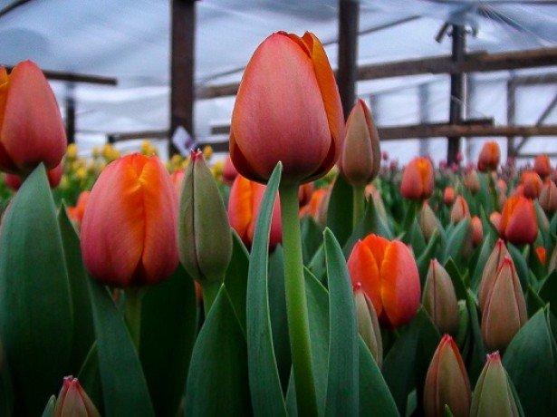 Вигонка тюльпанів до 8 березня-вибір сортів, посадка цибулин і правила вигонки