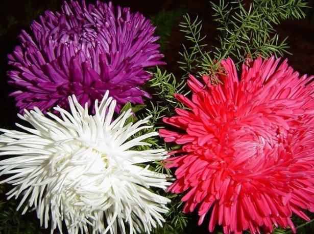 Вирощування айстри з урахуванням всіх особливостей для отримання прекрасних здорових квітів