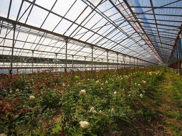 Вирощування троянд в теплиці круглий рік-які сорти вибрати, і як правильно їх вирощувати