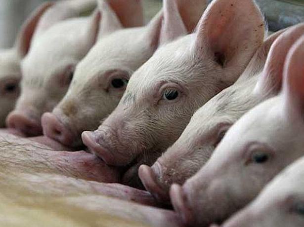 Вирощування свиней на особистому подвірї, що потрібно врахувати