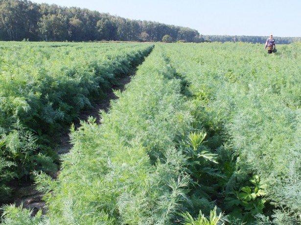 Вирощування кропу на продаж - чи може зелень кропу принести хороший дохід?