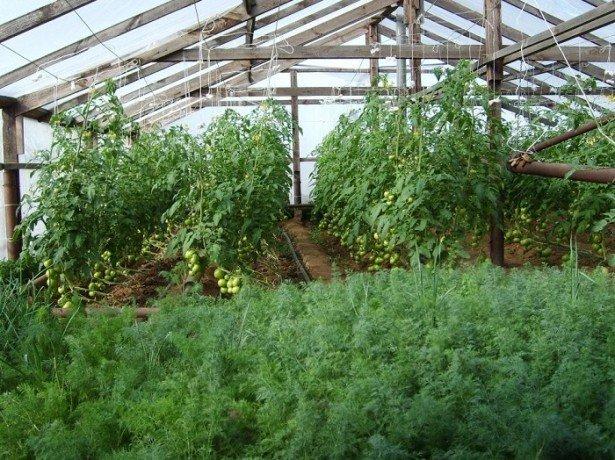 Успішне вирощування кропу в теплиці в будь-який час року