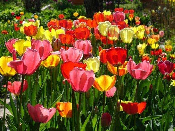 Чудові тюльпани у вашому саду-технологія вирощування тюльпанів у відкритому грунті