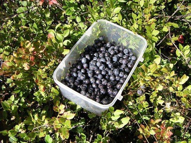 Як виростити чорницю з насіння та інші рішення складного завдання розведення садової ягоди