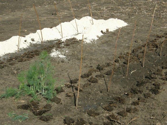 Садова ожина-вирощування неважке, а врожаї високі