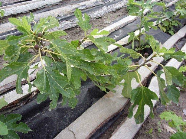 Інжир-вирощування у відкритому грунті за унікальною технологією