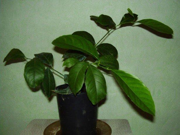 Як виростити здоровий і квітучий лимон в домашніх умовах?