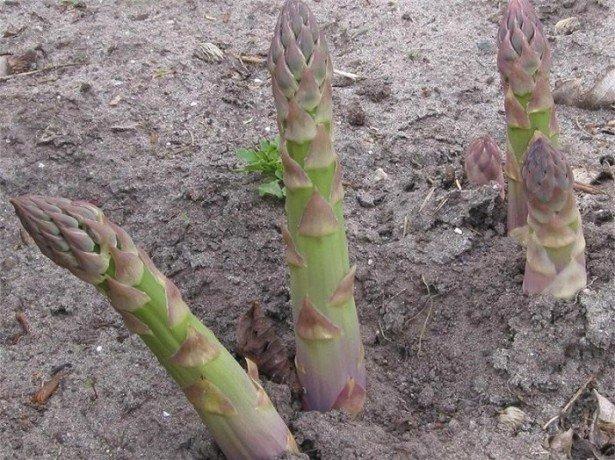 Чорниця − вирощування і догляд в задоволення і без клопоту