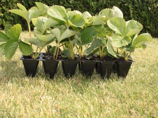 Заготовляємо насіння полуниці і вирощуємо з них розсаду своїми руками
