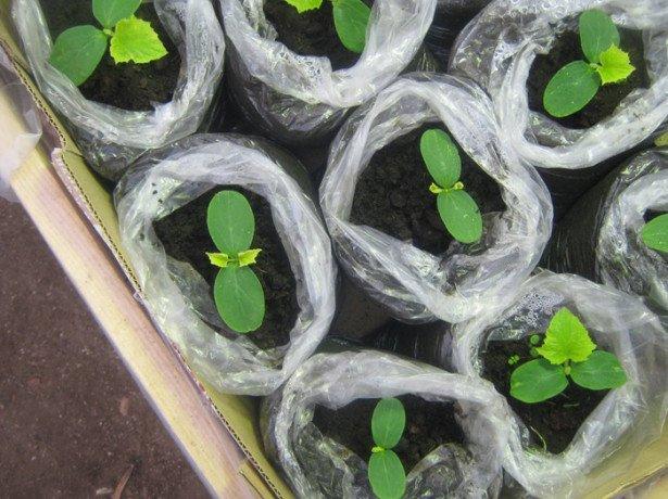 Зеленці на грядці-як вирощувати огірки у відкритому грунті