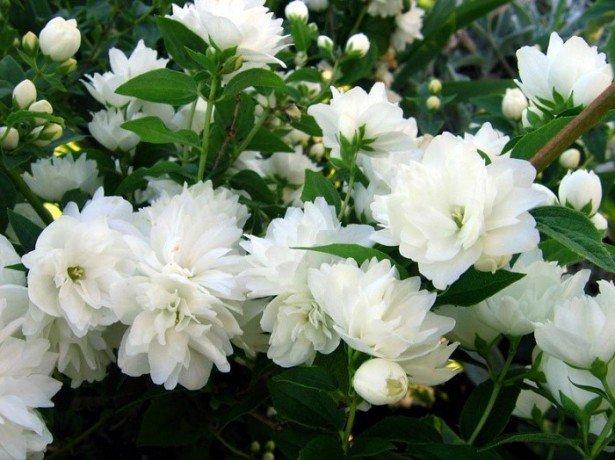 Жасмин садовий і його брати-інтриги жасминового сімейства