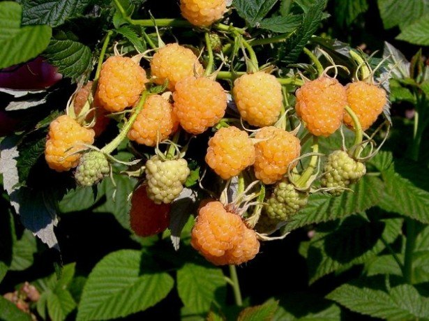 Підживлення винограду коренева і позакоренева-чим і як удобрювати?